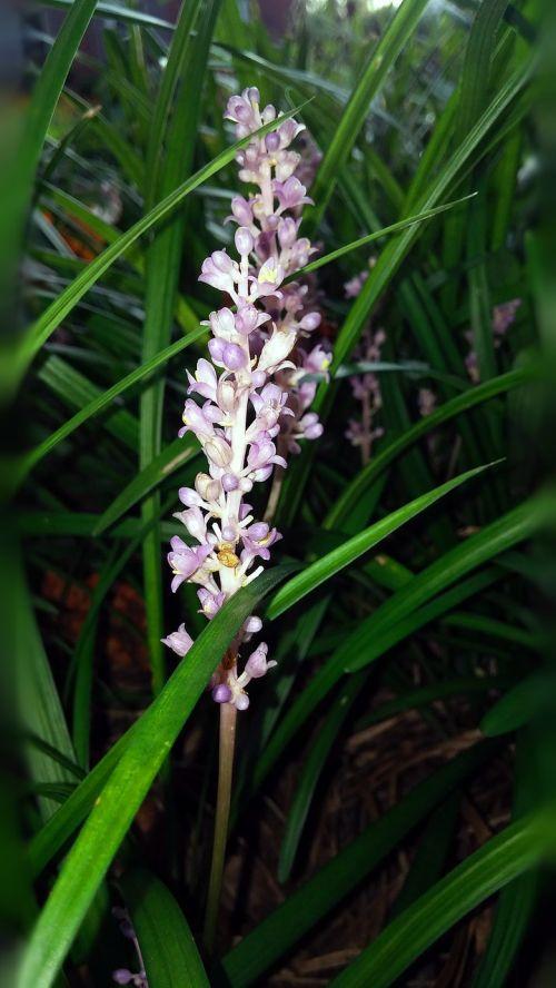 liriope flower plant