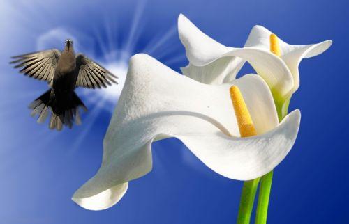 lirios white lilies ornamental