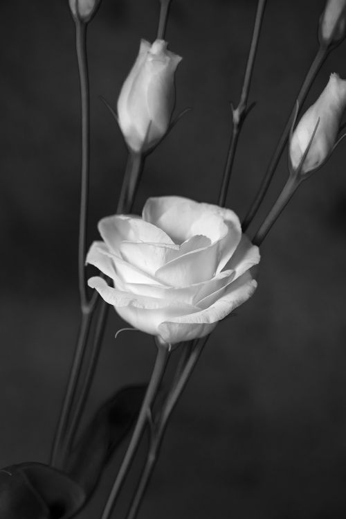 lisianthus flower blossom