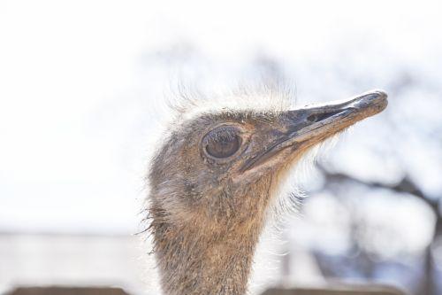 Listening Ostrich