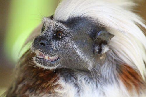 liszt äffchen monkey animal