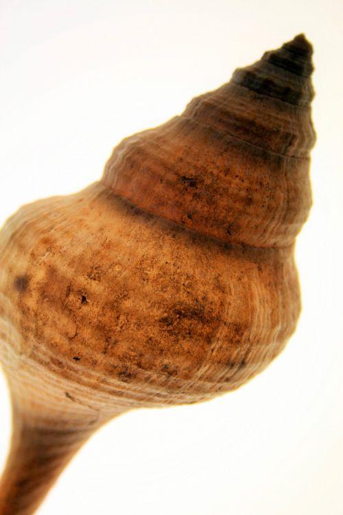 Lit Conch Shell