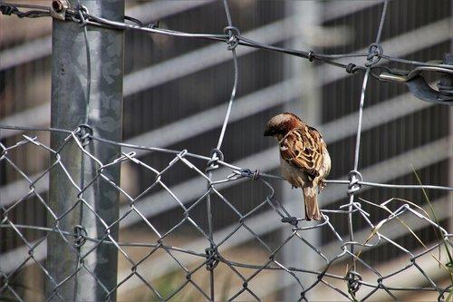 little bird  the sparrow  urban bird