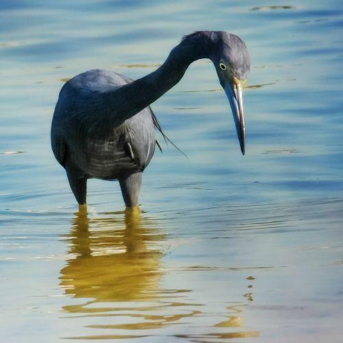 little blue heron birds wading birds