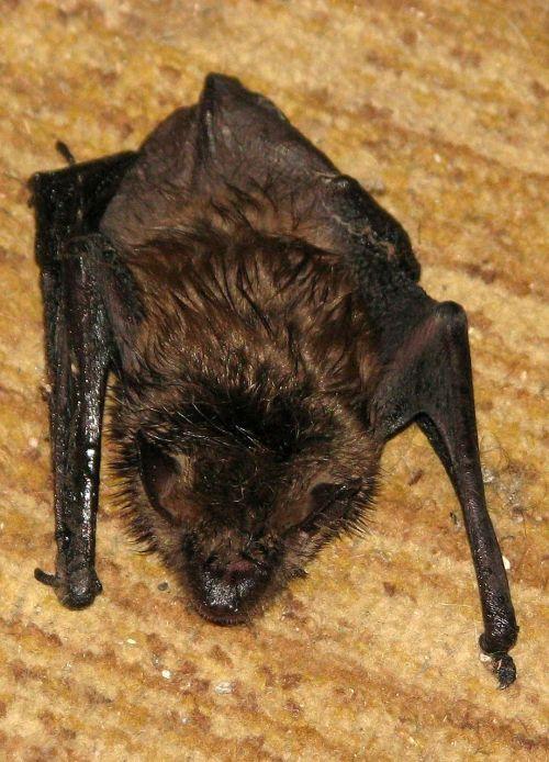 little brown bat little brown myotis myotis lucifugus