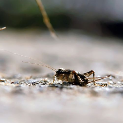 Little Cricket