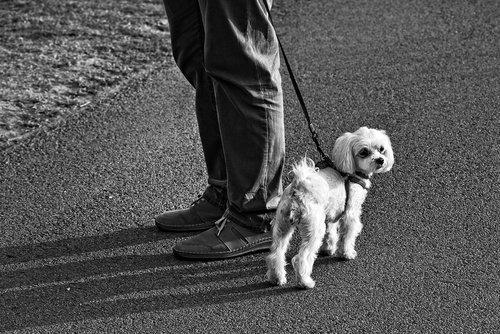 little dog  dog  canine