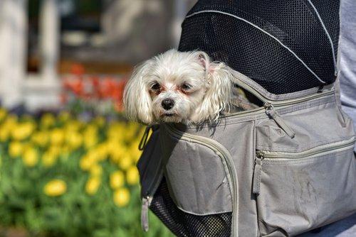 little dog  dog  animal