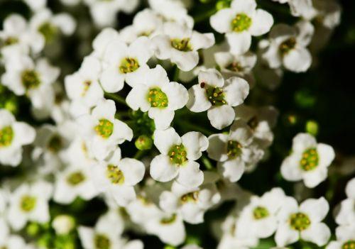 little dorrit alyssum lobularia maritima
