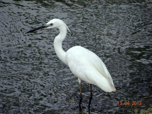 little egret bird sadhankeri