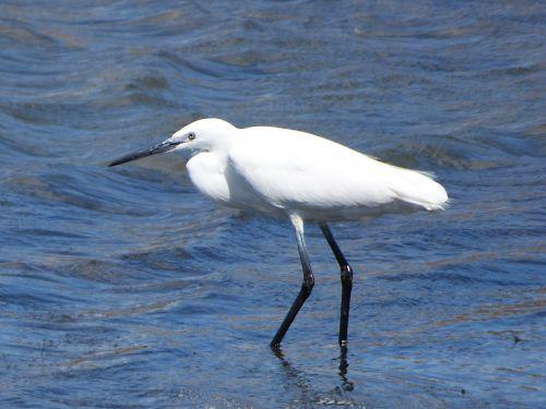little egret water bird martinet blanc