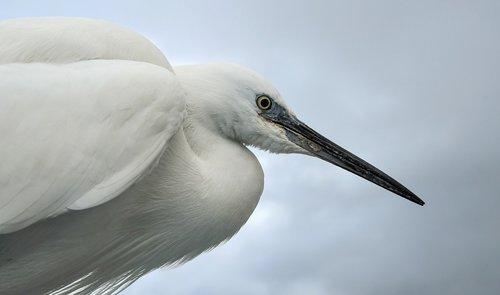 little egret  wader  bird