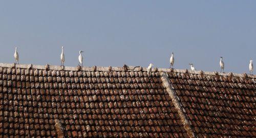 little egret bird egret