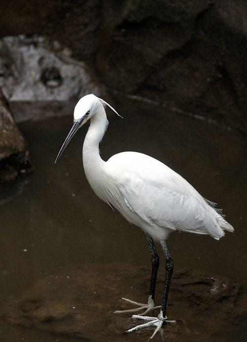 little egret bird wader