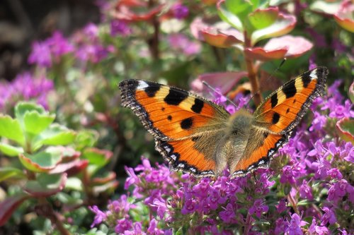 little fox  butterfly  insect