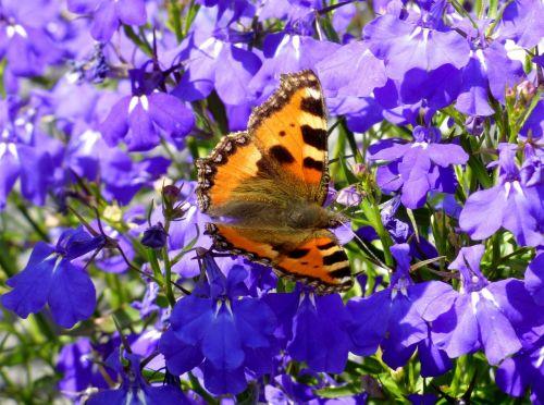 little fox butterfly lobelia