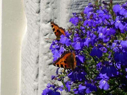 little fox butterflies lobelia