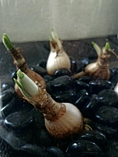 Little Onions Growing