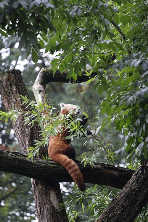 little panda panda ailurus fulgens