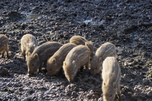 little pig litter wild boars