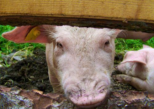 maži paršeliai,profilis,kiaulė,gyvūnas
