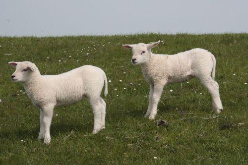 little sheep grass terschelling