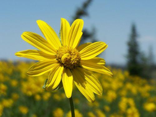 little sunflower yellow flower
