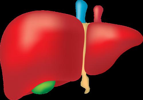 liver organ anatomy