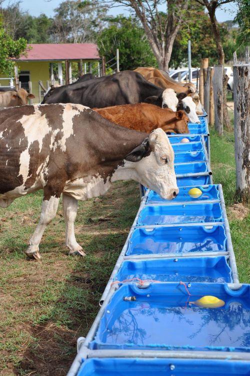 livestock drinking water