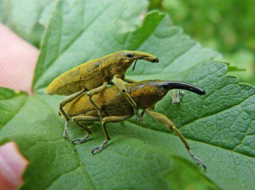 lixus angustatus lixus beetle mallows