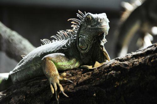 lizard reptile grey