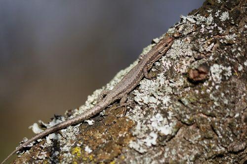 lizard camouflage nature
