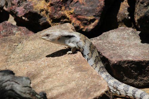 lizard bluetongue australian