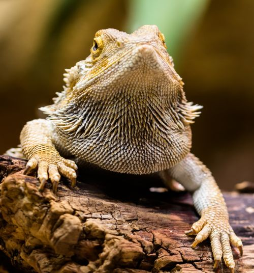 lizard agame reptile