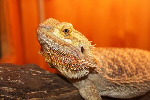lizard horned reptile