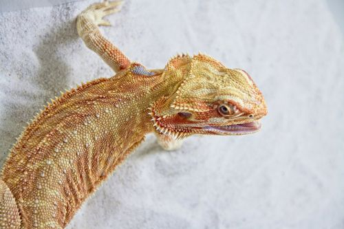 lizard reptile insect eater