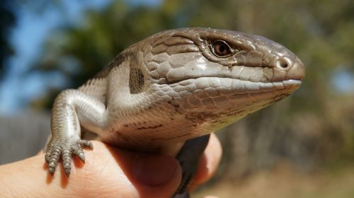 lizard skink blue tongue