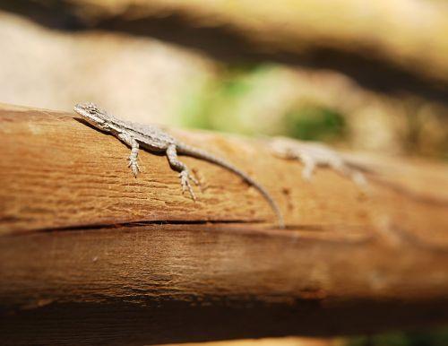 lizard nature wildlife