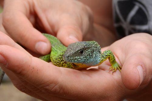 lizard green reptile