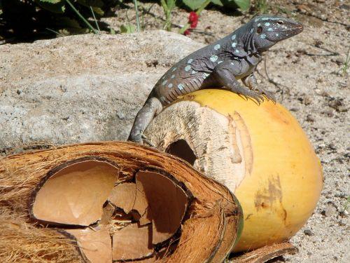 lizard renhagedis bonaire