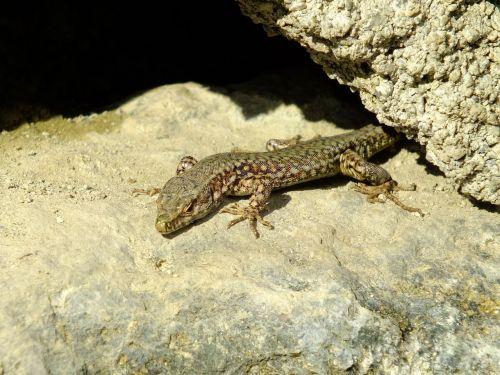 lizard animals nature