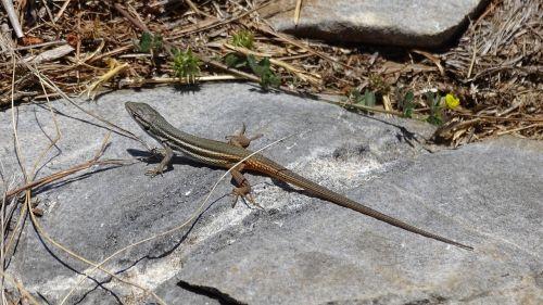 lizard reptiles fauna