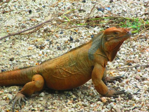 lizard iguanidae lizards