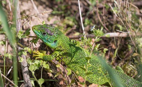 lizard emerald lizard animal