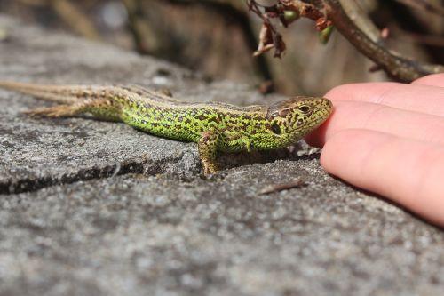 lizard macro handzahm