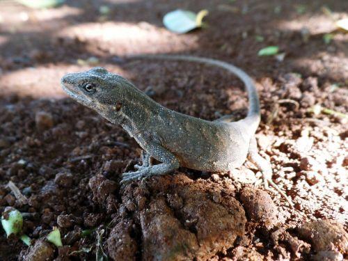 lizard details nature