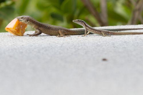 lizard feeding madeira