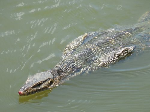 lizard water swimming