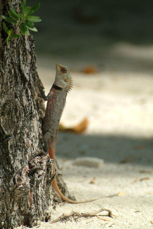 lizard gecko maldives