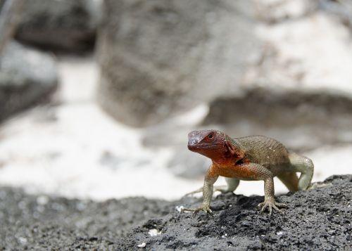 lizard galapagos islands reptile